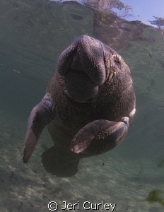 Crystal River young Manatee posing for photos. by Jeri Curley 